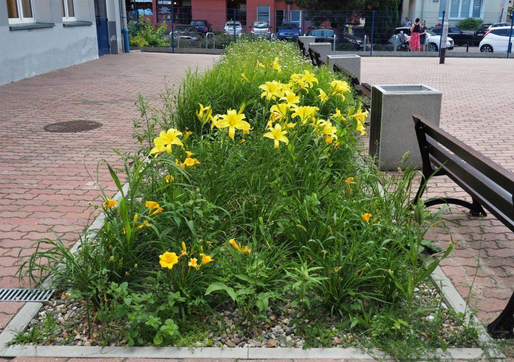 Kwitnące na żółto kwiaty, pomiędzy chodnikiem a ławką. W tle ulica.
